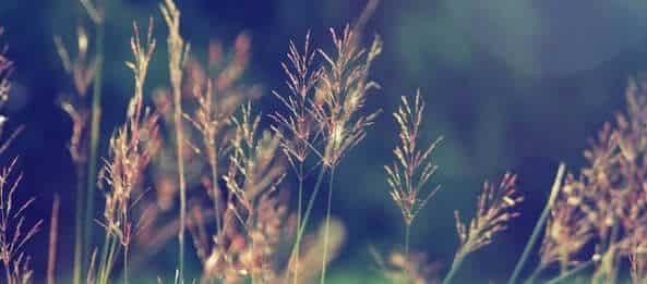 cỏ may