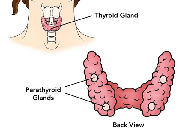 Thyroid gland: tuyến giáp. Parathyroid gland: tuyến cận giáp