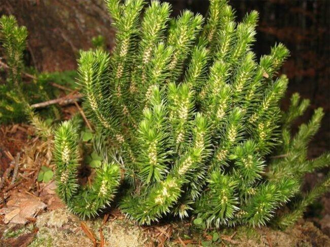Cây Thông đất có lá rất giống lá Thông