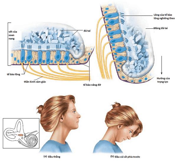 Sự thay đổi vết của soan nang khi đầu ở tư thế thẳng (a) và cúi (b) - Nguồn: Healthjade.net