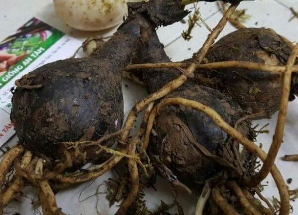 Củ của cây Tỏi trời rất giàu alcaloid, có giá trị chữa bệnh cao.