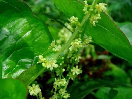 hình ảnh cây tỳ giải