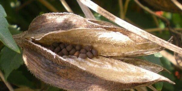 Hạt Vông vang chứa tinh dầu có mùi xạ hương, thường dùng làm hương liệu.