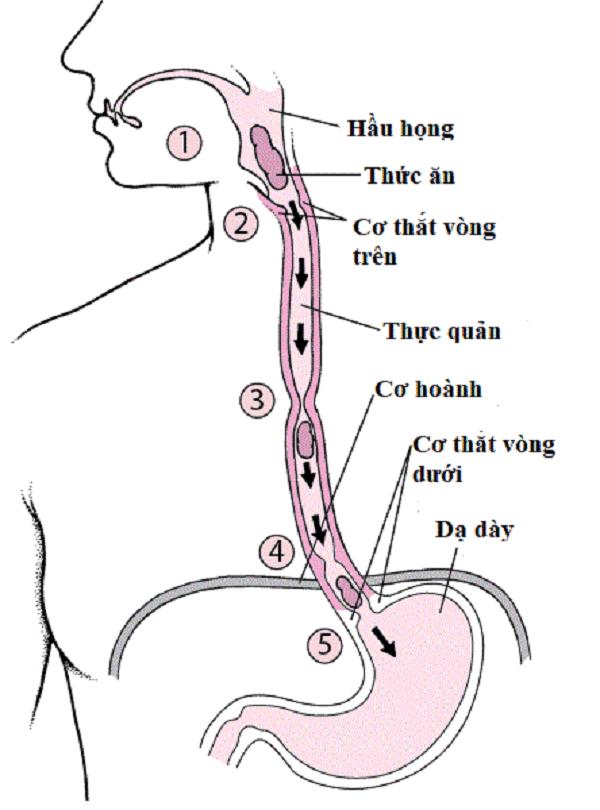 Cơ quan thực quản của cơ thể