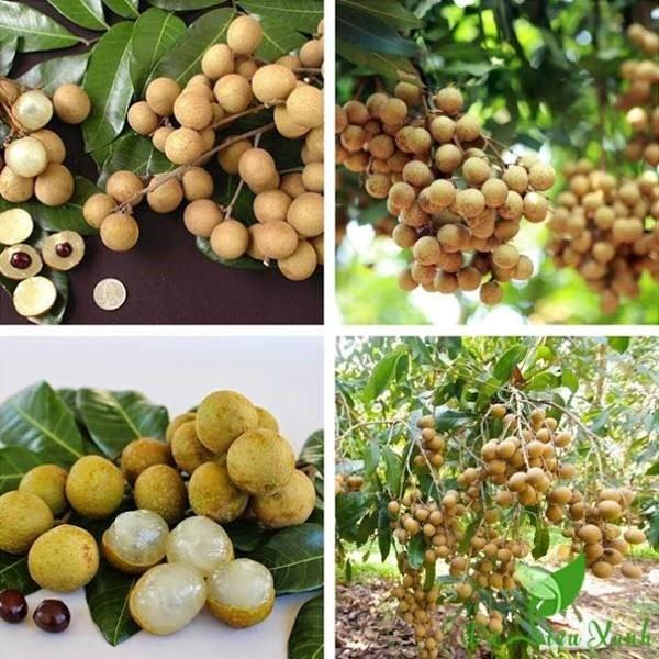 Đây là loại trái cây có nguồn gốc từ miền nam Trung Quốc