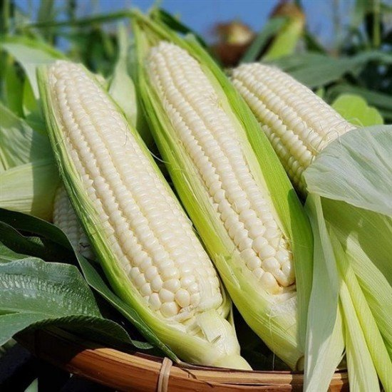 Ngô Nếp (Waxy Corn)