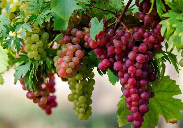 Đây là loại trái cây được trồng từ 6000-8000 năm trước