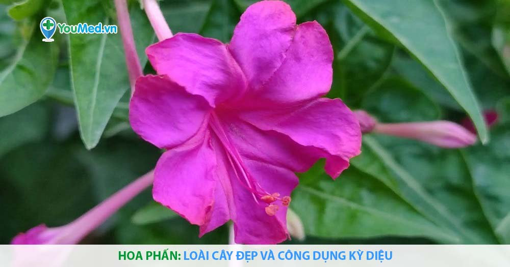 Hoa phấn: Loài cây đẹp và công dụng kỳ diệu
