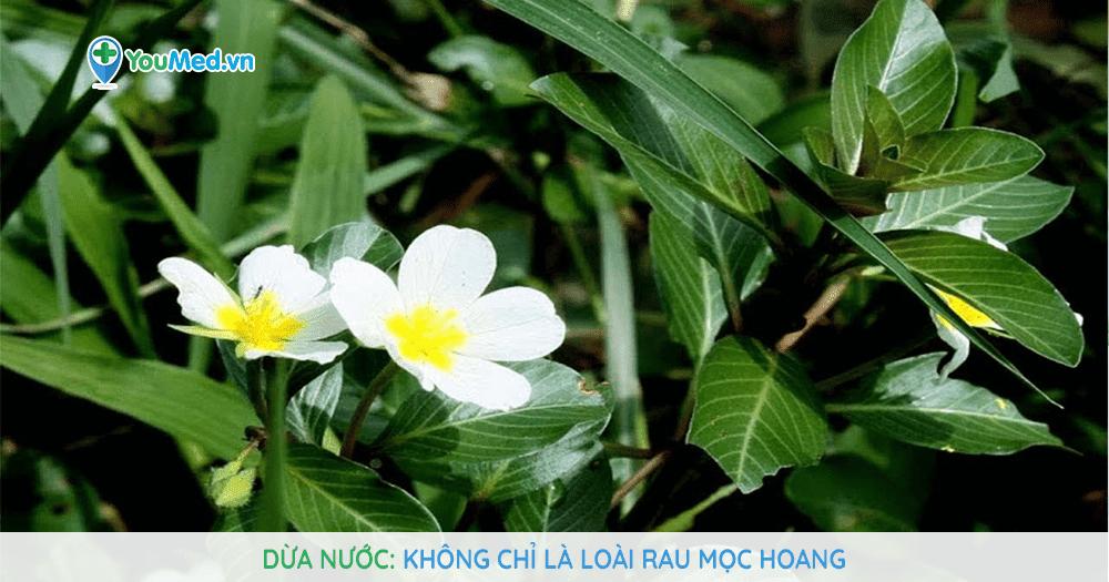 Dừa nước: không chỉ là loài rau mọc hoang