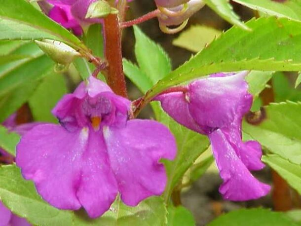 Cây Bóng nước không chỉ được trồng làm cảnh mà còn là một cây thuốc quý