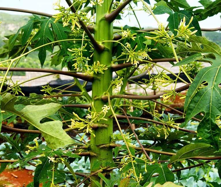 Hoa Đu đủ đực chứa: Kali (K), Natri (Na), Mangan (Mn), Magie (Mg), Sắt (Fe), Kẽm (Zn), Đồng (Cu), Canxi (Ca), … với tỷ lệ khác nhau