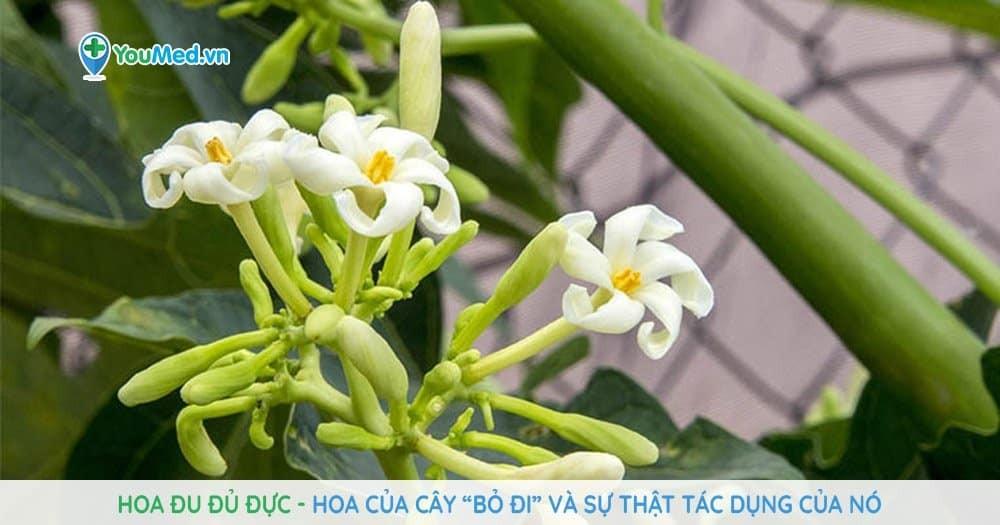 """Hoa đu đủ đực – hoa của cây """"bỏ đi"""" và sự thật tác dụng của nó"""