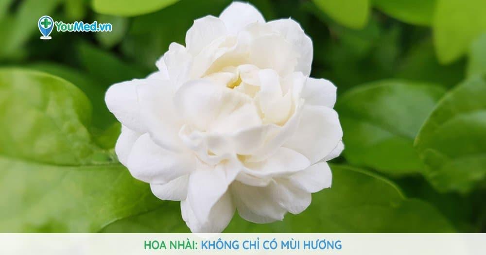 Hoa nhài: Không chỉ có mùi hương