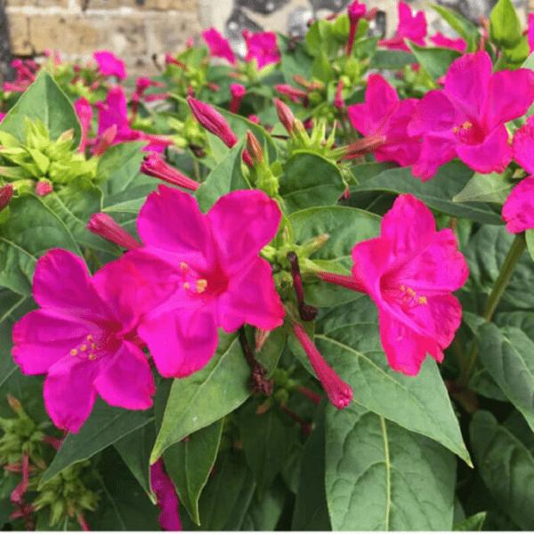 Hoa phấn có màu sắc rực rỡ thường được trồng làm cảnh