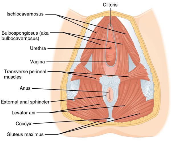Giải phẫu học tầng sinh môn ở nữ