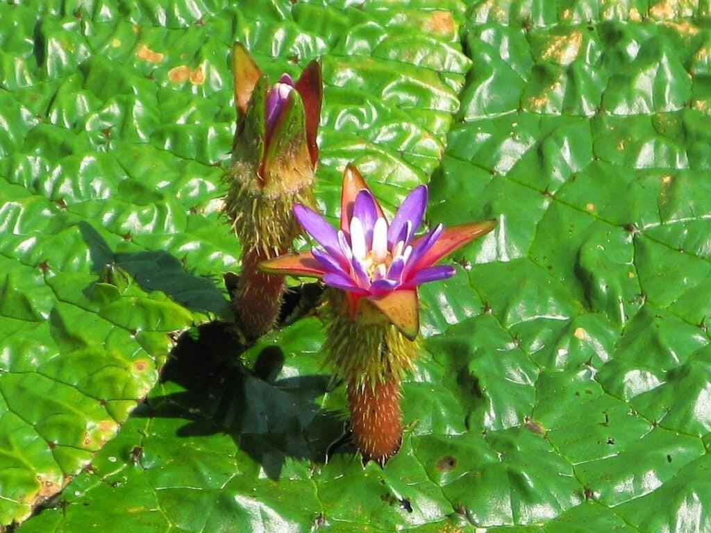 Khiếm thực là loại thực vật có hoa thuộc họ Súng