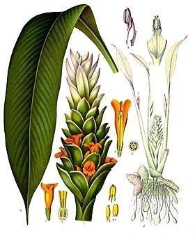 Đặc điểm cây nghệ vàng