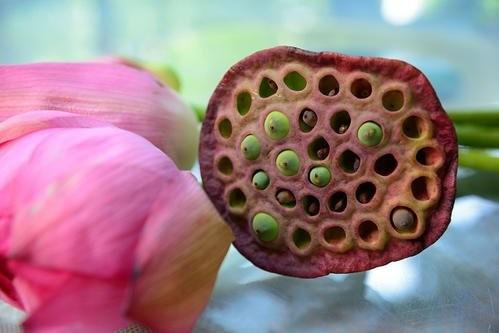 Gương sen chứa hạt sen, trong hạt sen có Tâm sen