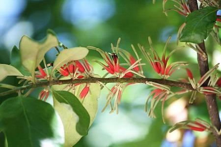 Hoa của Tang ký sinh