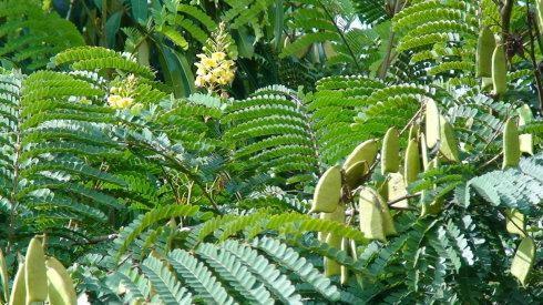 Lá và quả cây Tô mộc