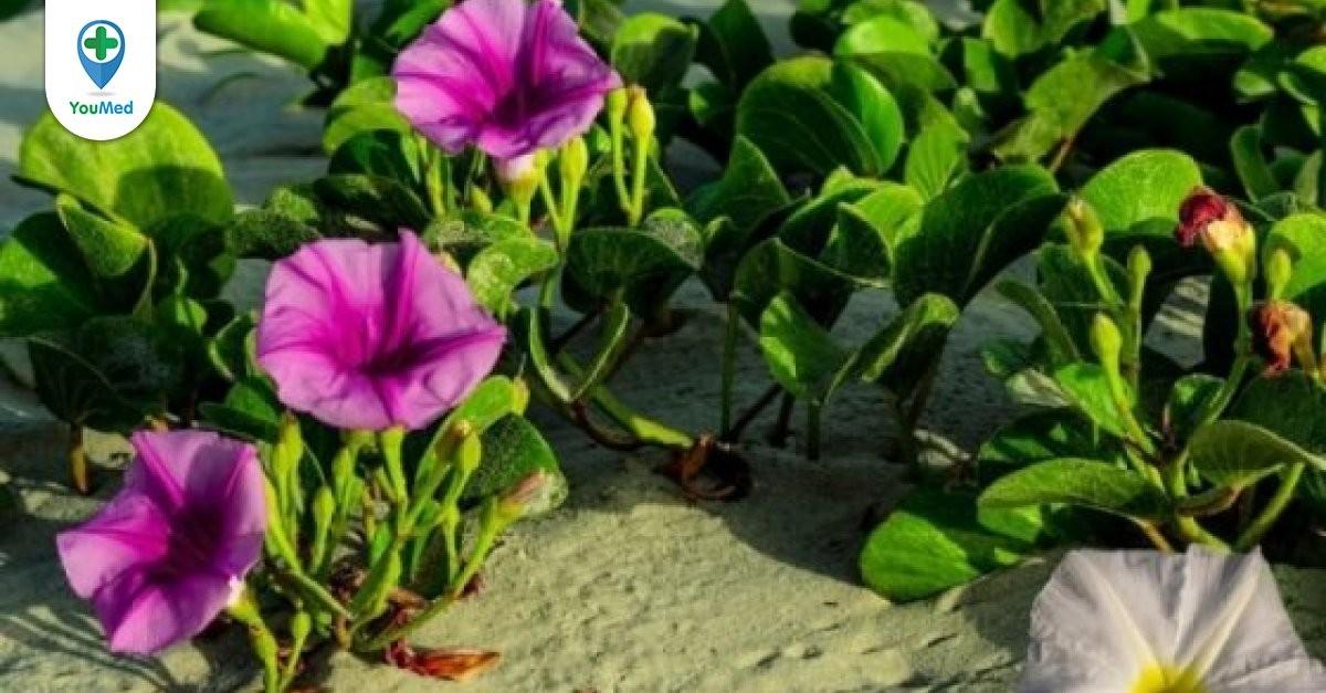 Rau muống biển: vị thuốc từ loài rau dại hoa tím