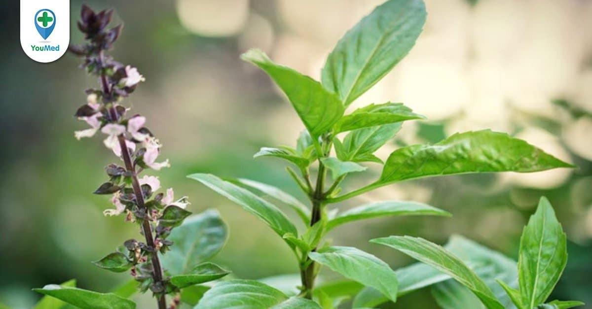 Húng quế: dược liệu có tác dụng tốt cho hệ tiêu hóa