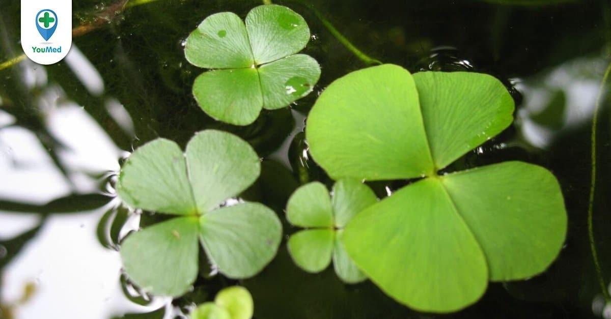 Rau bợ: vị thuốc đặc biệt từ một loài cỏ dại