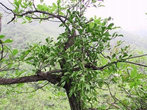Tang kí sinh là loài cây kí sinh trên cây dâu tằm