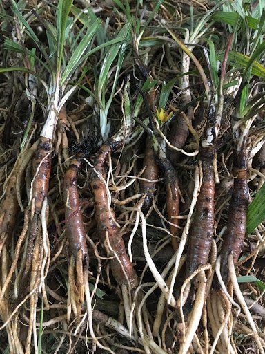 Tránh nhầm lẫn sâm cau với những rễ cây khác