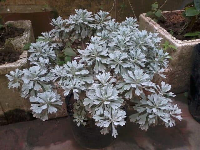 Cúc mốc là loài cây sống lâu năm, chịu được khắc nghiệt cao, dễ trồng.