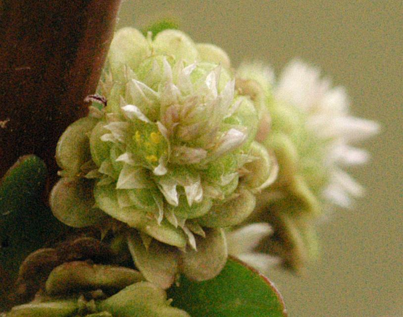 Hoa màu trắng mọc ở nách lá. Hoa lưỡng tính, mọc thành chùm và không có cuống. Hoa thường nở rộ vào tháng cuối năm