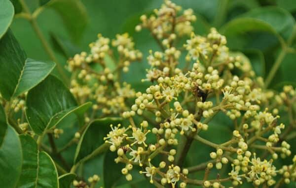 Hoa Mắc khén rất thơm, mọc thành từng chùm