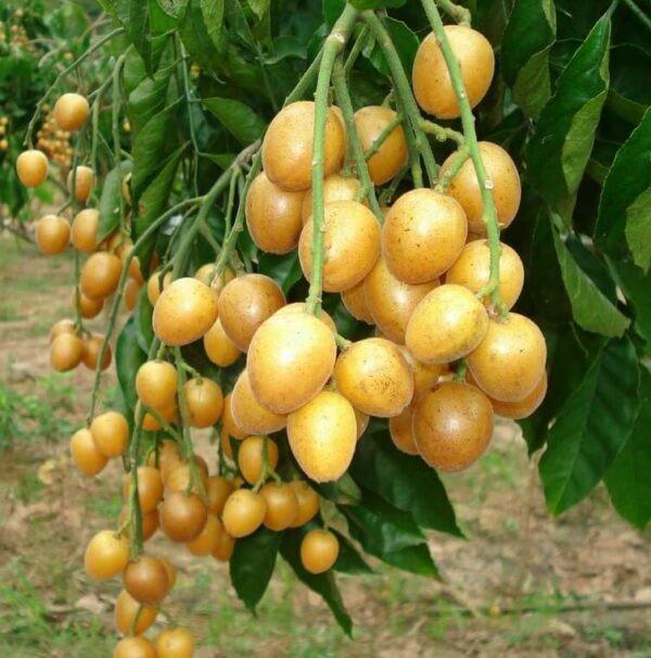 Hồng bì là loài cây ăn quả quen thuộc với người dân.