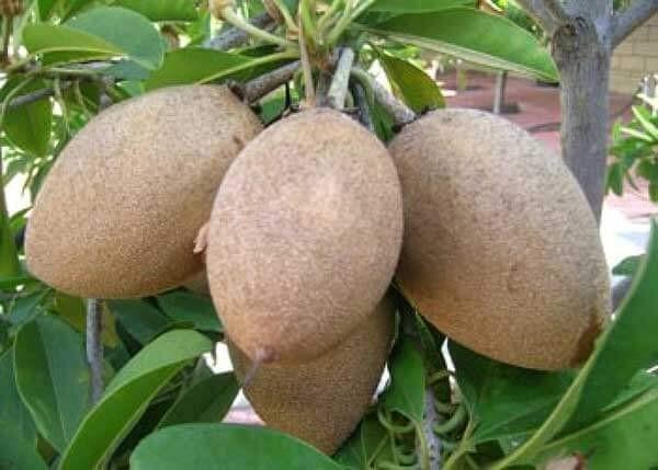 Hồng xiêm là loại trái cây bổ dưỡng quen thuộc.