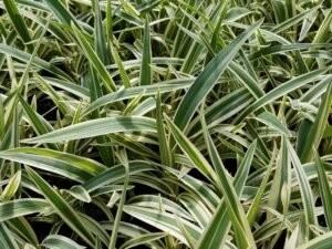 Hương bài là loại cây quen thuộc được trồng và mọc hoang nhiều ở miền bắc nước ta