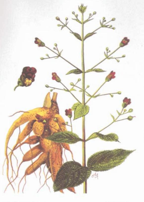 Hình vẽ toàn cây Huyền sâm