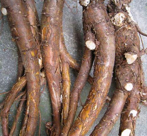 Vị thuốc khổ sân được bào chế từ phàn rễ của cây