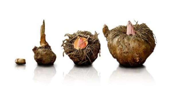 Củ Khoai nưa không chỉ là món ăn bổ dưỡng mà còn có tác dụng trị bệnh hiệu quả.