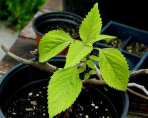 Kinh giới trồng nhiều tại Việt Nam để làm rau hoặc một số khu trồng thuốc