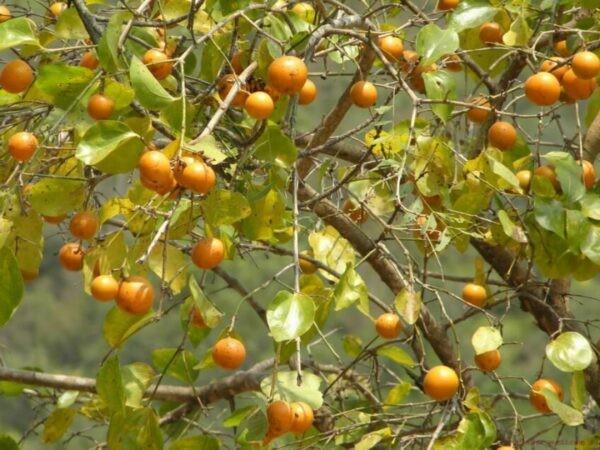 Mã tiền không chỉ là loài cây có chứa độc tính mà còn có tác dụng trị bệnh.