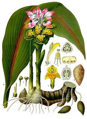 Mô tả đặc điểm cây Nga truật (nghệ đen)