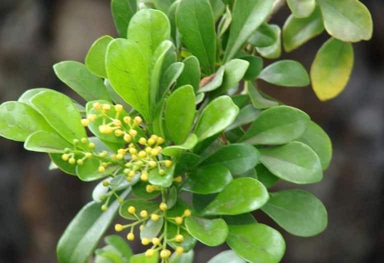 Lá cây Ngâu là lá kép lông chim, mọc so le