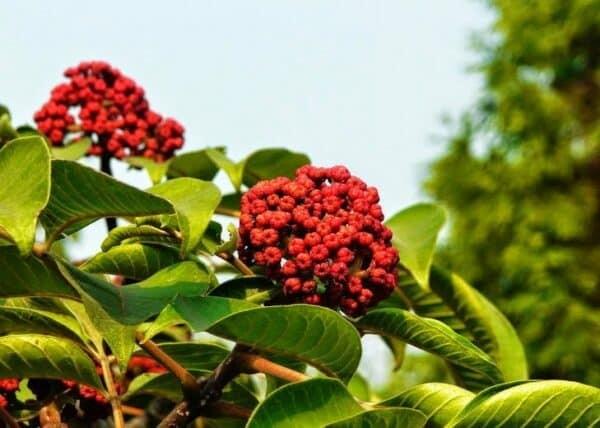 Ngô thù du với những chùm quả chín đỏ đặc trưng