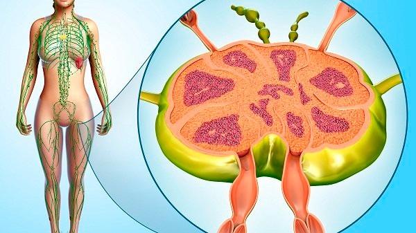 Minh họa hệ thống bạch huyết của cơ thể