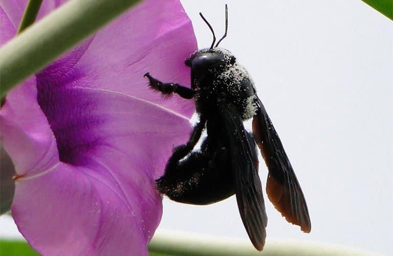 Ong đen
