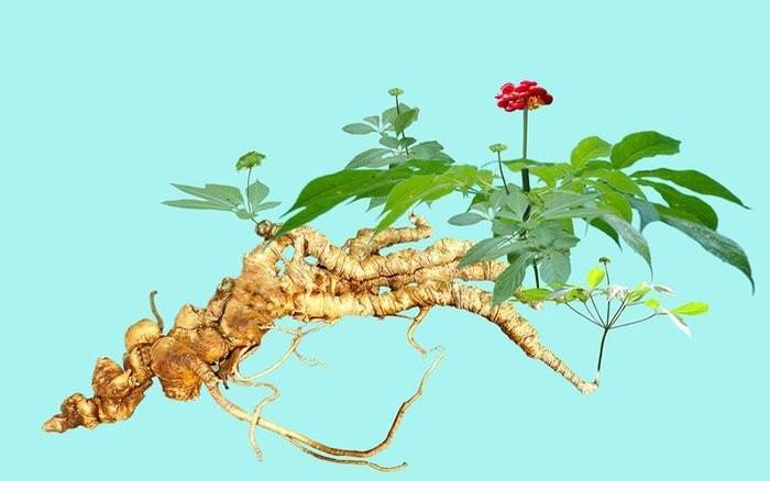 Hình ảnh toàn cây Sâm Ngọc Linh