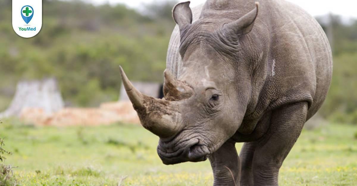 Tê giác: đừng thần thánh hóa công dụng của nó