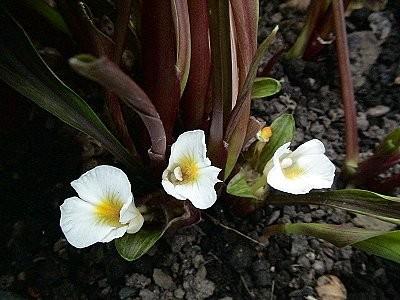 Hoa có màu trắng họng vàng