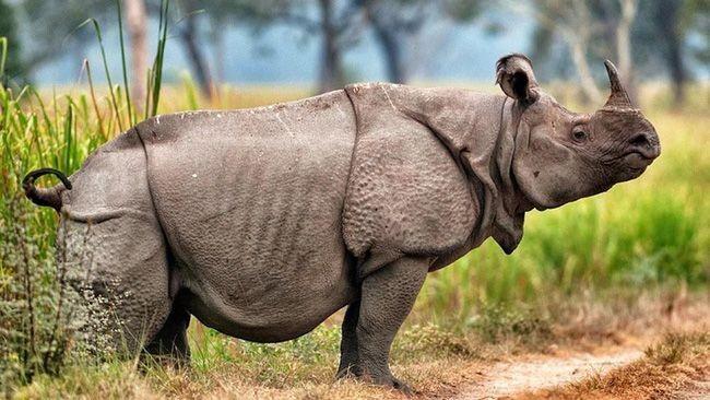 Sừng tê giác mọc ngay ở mũi, gắn vào lớp da dày, thường chỉ có con đực mới có sừng