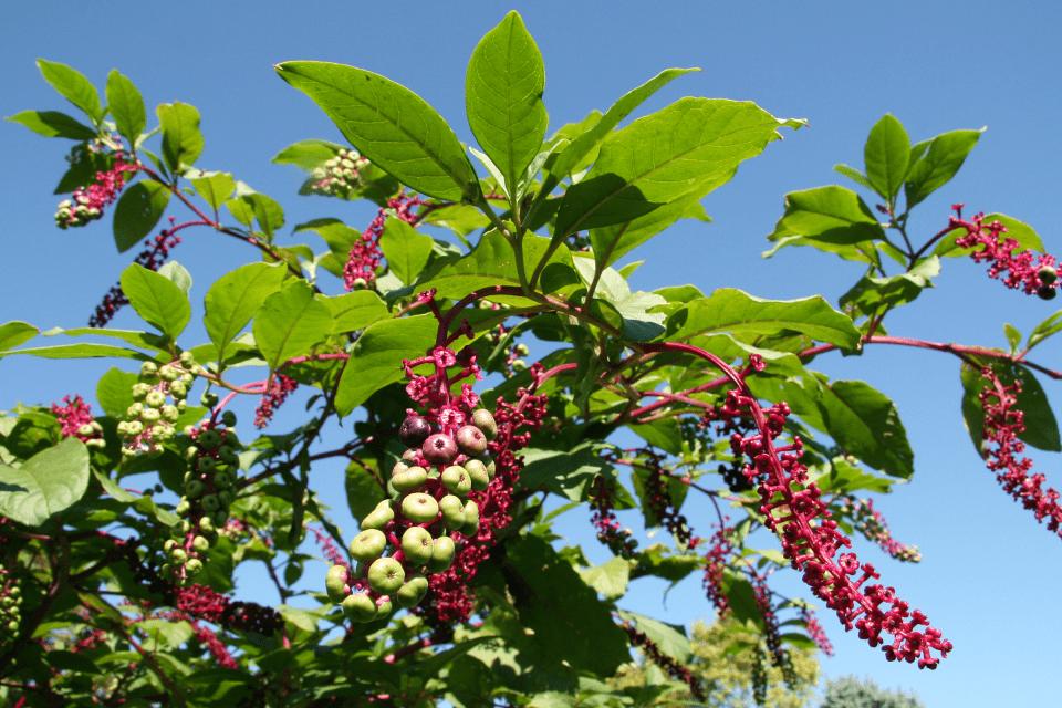 Thân Thương lục có màu xanh lục hoặc màu đỏ tía